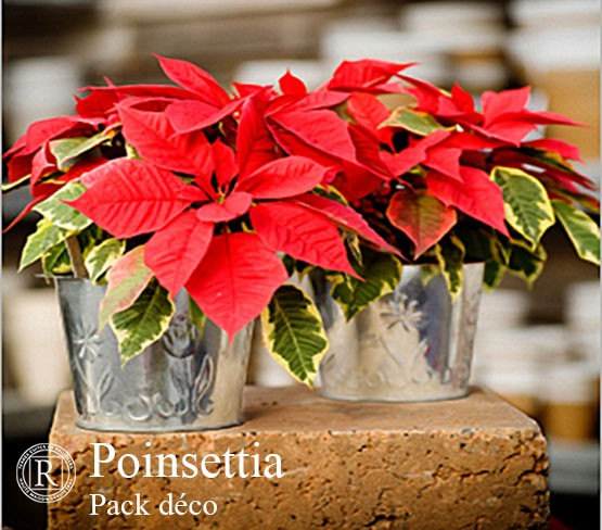 Pack Déco - Poinsettia